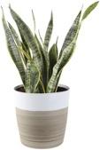 Snake Sansevieria Floor Plant